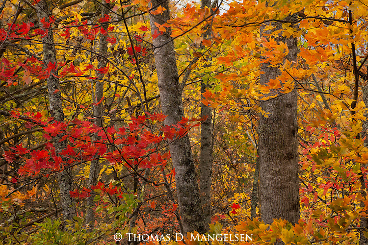 Reds and yellows of maples dominate the fall foliage in Great Smoky Mountains National Park, Tennessee.