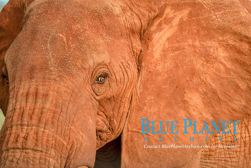 African Elephant (Loxodonta africana), coloured by the red dust, portrait, Amboseli National Park, Kenya, Africa