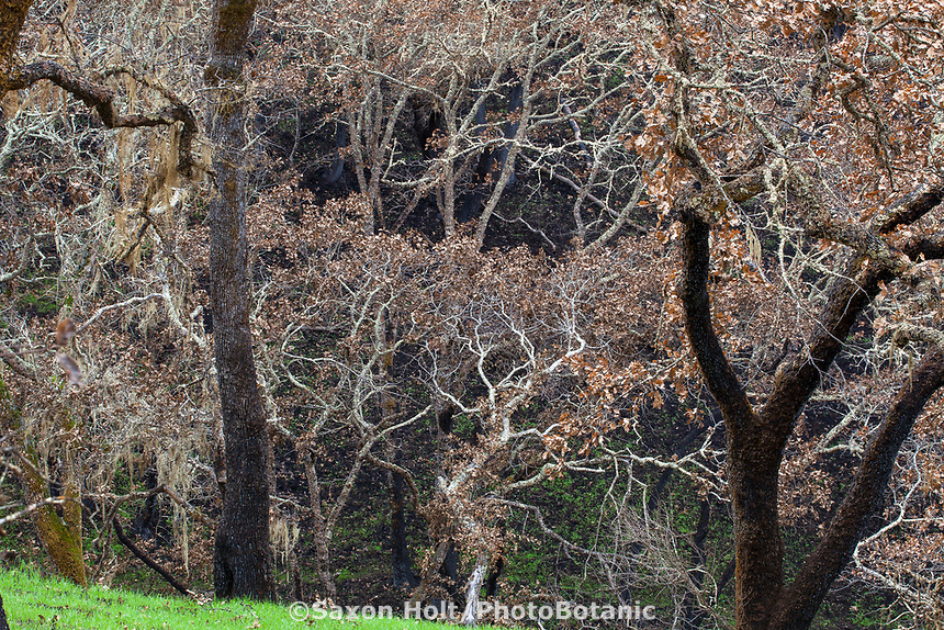 Burned Oak trees on hillside, grass recovering; Fire damage and recovery from Nuns fire October 2017, Sonoma Regional Park, California
