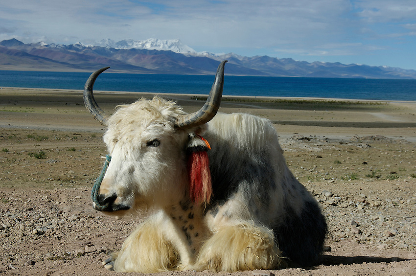 """A yak resting at Namtso Lake.Namtso Lake :Namtso, another holy lake in Tibet, is located near Damxung. 4718 meters (15475 feet) above sea level and covering 1900 square kilometers (735 square miles), the lake is the highest saltwater lake in the world and the second largest saltwater lake in China. The snow capped Mt. Nyainqentanglha, considered as the son of Namtso and leader of sacred mountains, soars up to sky beside her. Singing streams converge into the clean sapphire blue lake, which looks like a huge mirror framed and dotted with flowers..The Namtso Lake is held as """"the heavenly lake"""" or """"the holy lake"""" in northern Tibet. .Respected as one of the three holiest lakes in Tibet, the Namtso Lake is the seat of Paramasukha Chakrasamvara for Buddhist pilgrims. In the fifth and sixth month of the Tibetan calendar each year, many Buddhists come to the lake pay homage and pray. Deep tracks are worn into the lakeshore due to this activity. In history, monasteries stood like trees in a forest around the site, attracting large numbers of pilgrims as eminent monks in Buddhist temples extended Buddhist teachings...Buddhists believe Buddhas, Bodhisattvas and Vajras will assemble to hold religious meeting at Namtso in the year of sheep on Tibetan calendar. It is said that walking around the lake at the right moment is 100,000 times more efficacious than that in normal years. That's why thousands of pilgrims from every corner of the world come to pray at the site, with the activity reaching a climax on Tibetan April 15...Walking around the lake takes a week. Ritual walkers love to burn aromatic plants to raise smoke on Auspicious Island [explain this a little] and throw a piece of hada scarf into the lake as a token of fulfilled wishes. If the scarf sinks, it implies ones wish is accepted by the Buddha; if the scarf flows on the water or only half sinks, it means one has failed to be honest and something unhappy may lie ahead...On the four sides of the lake stand four monaste"""