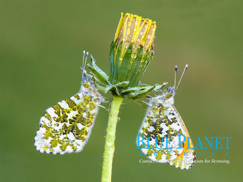Orange-tip Butterfly (Anthocharis cardamines), adult male and female, resting on Common Dandelion (Taraxacum officinale), emerging flower with raindrops, Leicestershire, England, United Kingdom, Europe