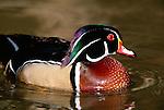 Wood duck, Sacramento National Wildlife Refuge Complex, California, USA