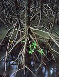 Mangrove Masses<br /> Cairns Mangrove Boardwalk<br /> FNQ