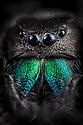 Regal Jumping Spider {Phidippus regius} male. Captive, originating form North America. website