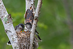 Eastern kingbird parents and offspring in northern Wisconsin.
