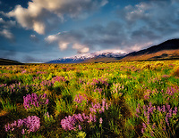 Lupines and Steens Mountain, Oregon