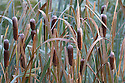 Bulrush {Typha latifolia} seed heads. Derbyshire, UK. November.