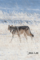 wolf on frosty winter morning Wild Wolf photos from Yellowstone National Park