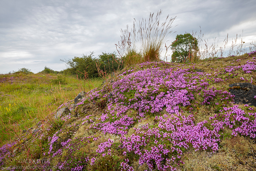 Thyme (Thymus serpyllum) growing on lead mining spoil heap. Peak District National Park, Derbyshire. July.