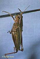 GF07-002a  Funny Grasshopper - doing chin-ups