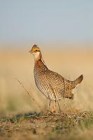 Adult male Lesser Prairie-Chicken  surveys its rivals on a lek. Cimarron National Grassland, Kansas. April.