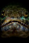 Lizardfish portrait, Synodus sp., Lembeh Strait, Manado, North Sulawesi, Indonesia, Pacific Ocean