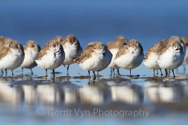 Flock of Western Sandpipers (Calidris mauri) roosting on barrier island tidal flats. Terrebonne Parish, Louisiana. October.