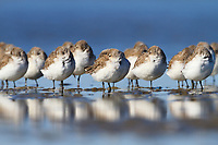 Flock of Western Sandpipers (Calidris mauri) roosting on barrier island tidal flats. Terrebonne Parish, Louisiana. October.