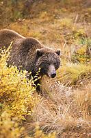 Female grizzly bear, autumn tundra, Denali National Park, Alaska
