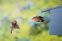 Rotkehlchen, am Nistkasten, Halbhöhle, Halbhöhlenkasten, Abflug, fliegend, Flug, Flugbild, Erithacus rubecula, robin, European robin, robin redbreast, flight, flying, Le Rouge-gorge familier