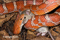 1R22-635z  Corn Snake, Banded Corn Snake, Elaphe guttata guttata or Pantherophis guttata guttata, catching and eating mouse