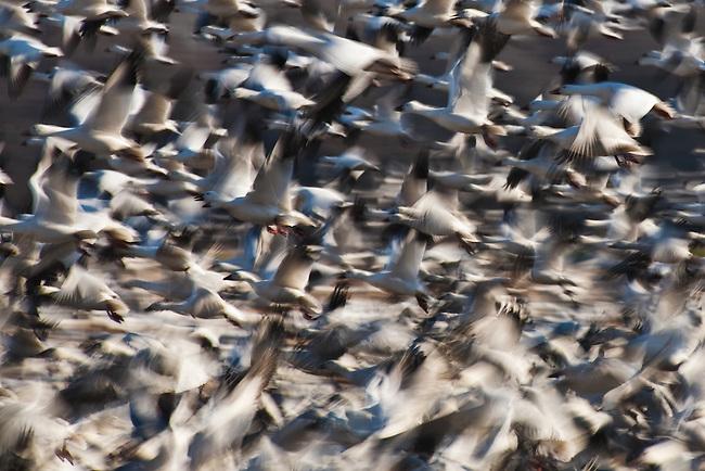 Snow geese (Chen caerulescens) taking flight