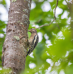 Immature yellow-bellied sapsucker sipping sap from a tree in northern Wisconsin.