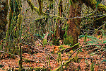 A Black-tailed Deer is framed by a moss-draped temperate rainforest in Washington's Olympic National Park.