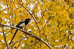 Yellow-billed Magpie (Pica nutalli), Del Valle Regional Park, California