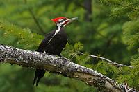 Adult male Pileated Woodpecker (Dryocopus pileatus). Pend Oreille County, Washington. May.