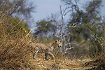 African Leopard (Panthera pardus) sub-adult female, Kafue National Park, Zambia