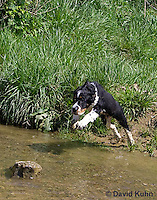0730-0837  Tricolor English Springer Spaniel Puppy Jumping in Water, Canis lupus familiaris © David Kuhn/Dwight Kuhn Photography