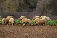 29-1-2021 In lamb ewes on stubble turnips<br /> ©Tim Scrivener Photographer 07850 303986<br />      ....Covering Agriculture In The UK....