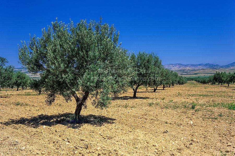 Tunisia, near Zaghouan.  Olive Trees.