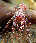Polka dotted hermit crab, Phimochirus operculatus out of its shell.