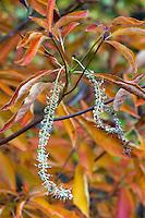 Fading autumn flower tassel of Clethra barbinervis, Japanese clethra in Gary Ratway garden