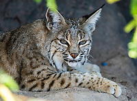 Bobcat, Lynx rufus, rests in the shade at the Arizona-Sonora Desert Museum, near Tucson, Arizona. (Captive)