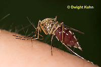 MQ02-600z   Mosquito sucking blood from human finger, Ochlerotatus excrucians, [Aedes excrucians]