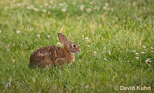 0613-0901  Eastern Cottontail Rabbit - Sylvilagus floridanus  © David Kuhn/Dwight Kuhn Photography
