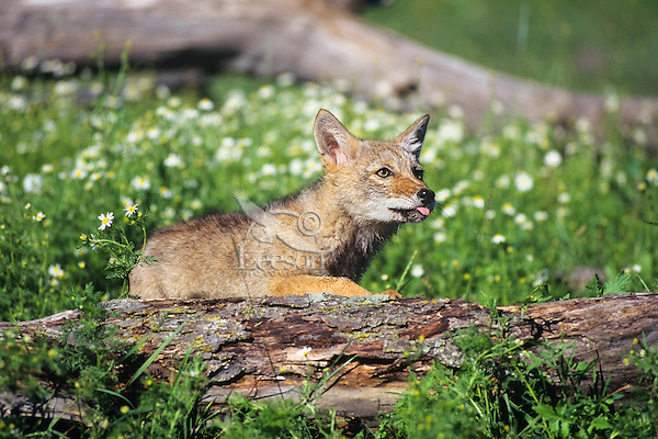 Coyote pup (Canis latrans) in field of wildflowers.