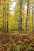 Gale River Forest - Autumn colors in hardwood forest along Gale River Road in the White Mountains, New Hampshire USA