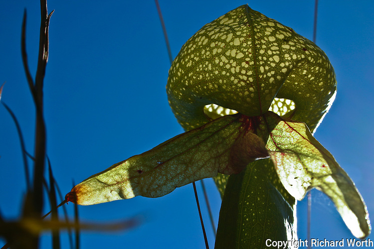 At the opening to the plant's hood, a scented 'mustache' helps attract the cobra lily's prey.