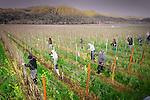 Prune tokalon grape vines at Robert Mondavi vineyard