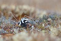 Adult male Ruddy Turnstone (Arenaria interpres) in breeding plumage incubating a nest. Yukon Delta National Wildlife Refuge. Alaska. June.