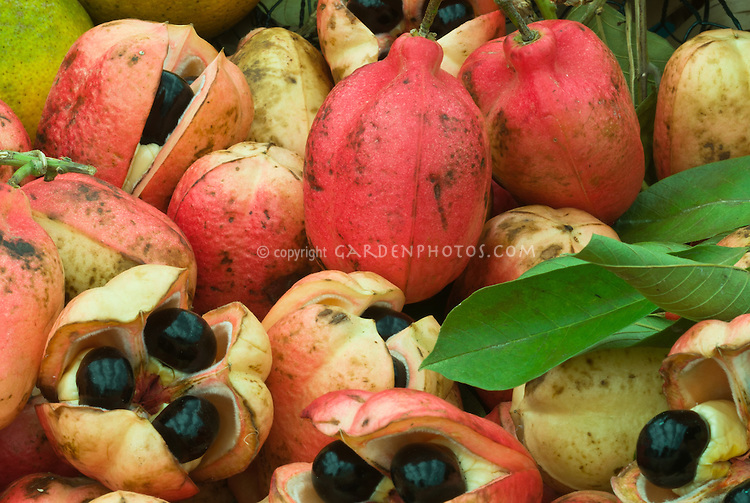 Blighia sapida (Ackee, Akee, Achee). Seeds poisonous, national plant of Jamaica, culinary uses, medicinal uses