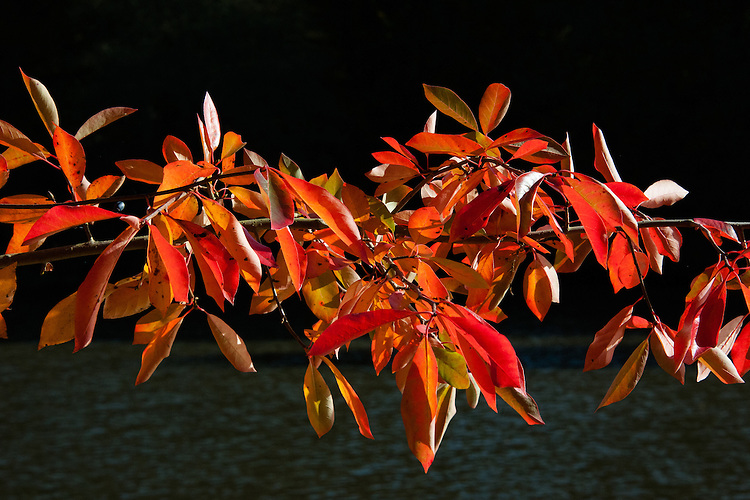 Nyssa aquatica, late October. Common names include: Water tupelo, Cottongum, Wild olive, Large tupelo, Sourgum, Tupelo-gum, and Water-gum. A large, long-lived tree in the tupelo genus that grows in swamps and floodplains in the southeastern United States.