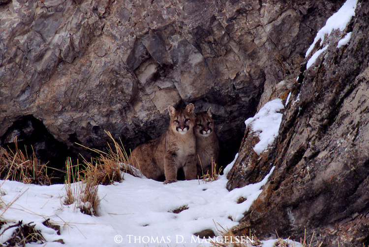 Two mountain lion cubs sit together outside their den.