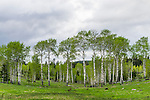 Grove of aspen trees in springtime, Kane Valley, British Colombia, Canada.