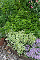 Herb Garden : Parsley, thyme, variegated marjoram, sage