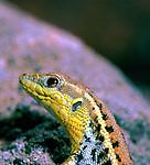 Balkan Wall Lizard