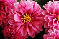 Gardening-Dahlia, pink flower macro