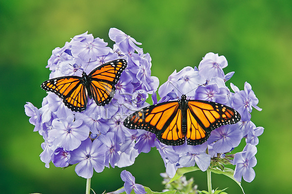 Monarch (r.) (Danaus plexippus) & Viceroy (Limenitis archippus) butterflies on garden phlox (Phlox paniculata) flowers, summer, North America.  Viceroy is Mullerian mimic: looks like Monarch & both distasteful to predators.