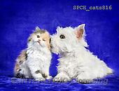 Xavier, ANIMALS, REALISTISCHE TIERE, ANIMALES REALISTICOS, cats, photos+++++,SPCHCATS816,#A#