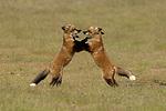 Fox kits playing by Wayne Duke
